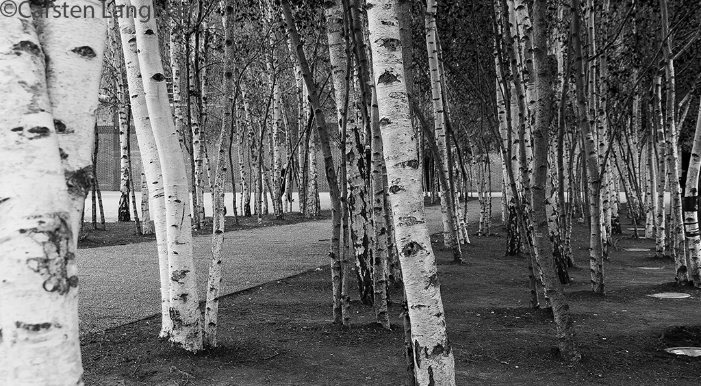 Birch trees in evening light