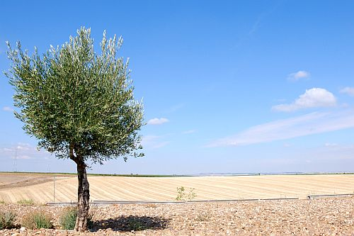 r-olive