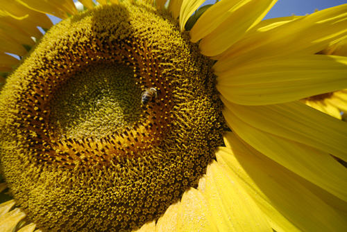 r-sunflower