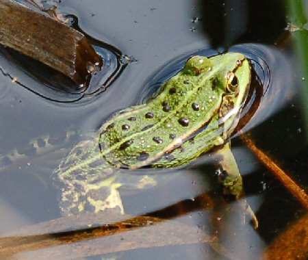 Trees in october. -No! Frog in water.