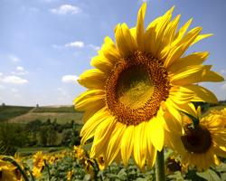 r-sunflowerII