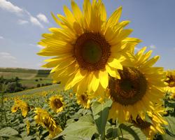 r-sunflowerIII